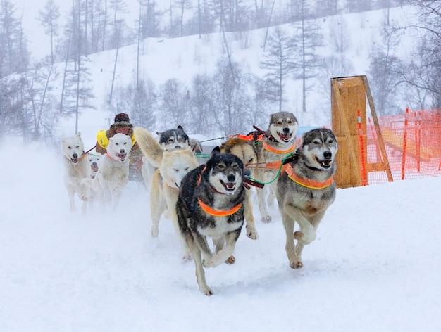 Il musher che si nasconde dietro la slitta alla corsa di cani da slitta sulla neve in inverno