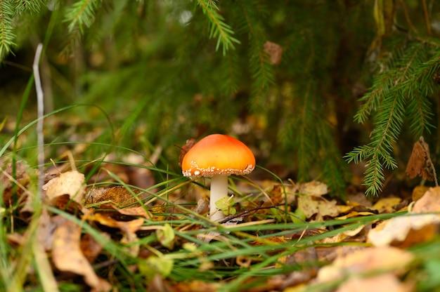Agarico di mosca del fungo in erba sulla foresta di autunno