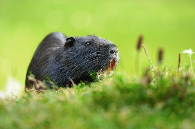 Il topo muschiato (ondatra zibethicus)