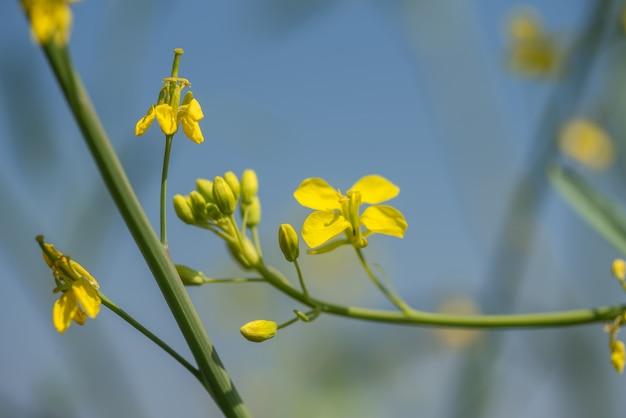 Senape fiori che sbocciano sulla pianta al campo dell'azienda agricola con i baccelli. avvicinamento.