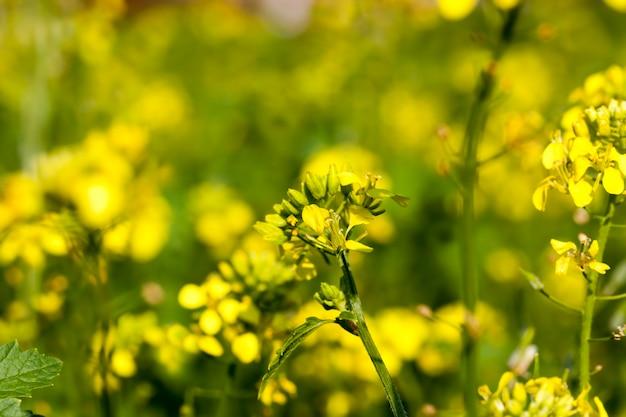 Fiori di senape nella stagione primaverile