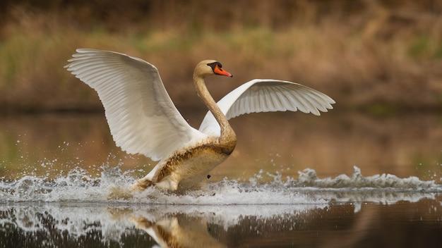 Cigno reale che atterra su spruzzi d'acqua nella natura primaverile