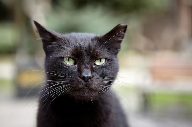 Muso di gatto randagio meticcio nero con orecchio strappato.