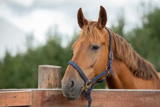 Muso di cavallo da corsa marrone di razza calma ti guarda mentre in piedi dietro il recinto di legno in ambiente rurale