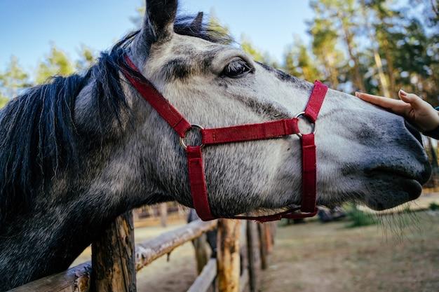 Metti la museruola al primo piano grigio del cavallo in un recinto per bestiame sulla via