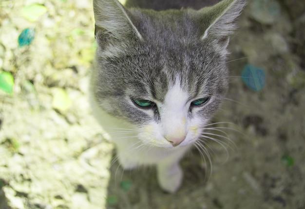Il muso di un primo piano di un gattino grigio, occhi di gatto verdi
