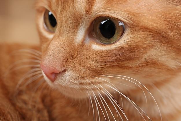 Muso di un gatto rosso, primo piano