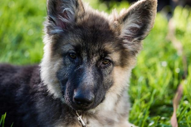 Muso dell'animale domestico del cane di piccola taglia all'aperto nell'erba verde