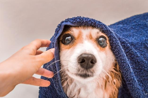 Muso di cane bagnato dopo aver nuotato avvolto in un asciugamano di spugna blu in bagno