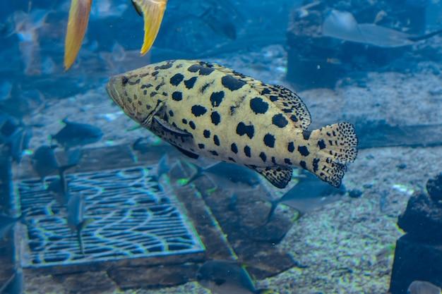 Mycteroperca rosacea (cernia leopardo) nel grande acquario è una cernia del pacifico centro-orientale. raggiunge una dimensione di 86 cm di lunghezza. sanya, isola di hainan, cina.