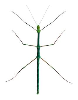 Myronides sp, insetto stecco, di fronte a uno sfondo bianco