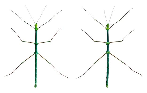 Myronides sp, insetti stecco, davanti a sfondo bianco