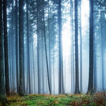 Misteriosa nebbia nella foresta verde con alberi di pino