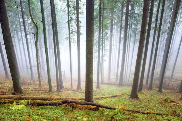 Nebbia misteriosa nella foresta verde con alberi di pino