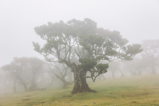 Foresta mistica di laurisilva di fanal all'isola di madeira, portogallo