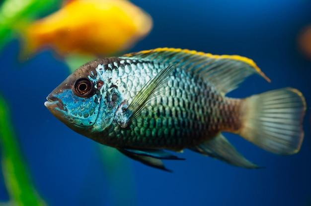 Nannacara. pesci d'acquario blu