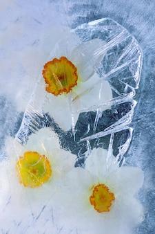 Fiore di narciso in cubetto di ghiaccio con bolle d'aria.