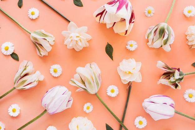 Narciso, tulipano, fiori di camomilla margherita su pesca corallo