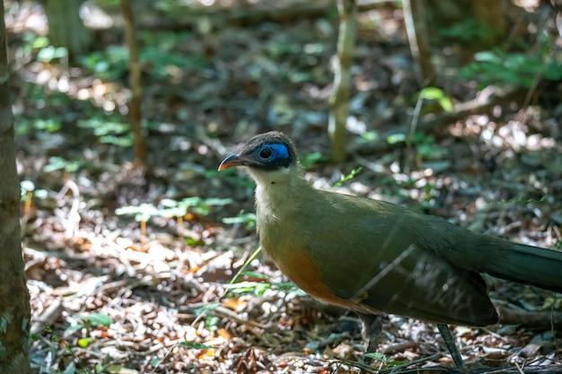 Un uccello malgascio nativo con piumaggio molto colorato