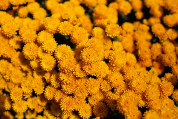 Sfondo naturale di bellissimi crisantemi dorati in fiore.