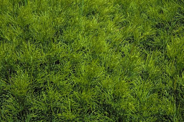 Sfondo naturale. erba verde. coltivazione di piante ornamentali per l'abbellimento urbano.