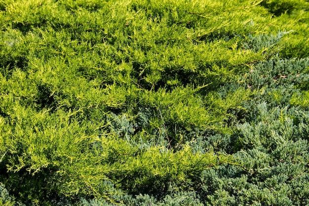 Sfondo naturale dei cespugli di ginepro verde