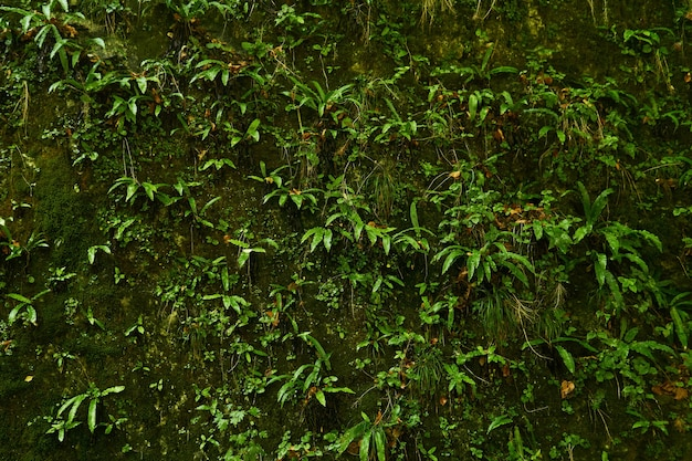 Sfondo naturale - una roccia verticale in una foresta tropicale, completamente ricoperta da una varietà di vegetazione igrofila, muschi e felci