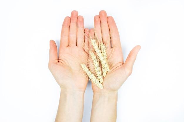 Eco naturale spighette di avena in un primo piano delle mani di una donna su uno sfondo bianco isolare
