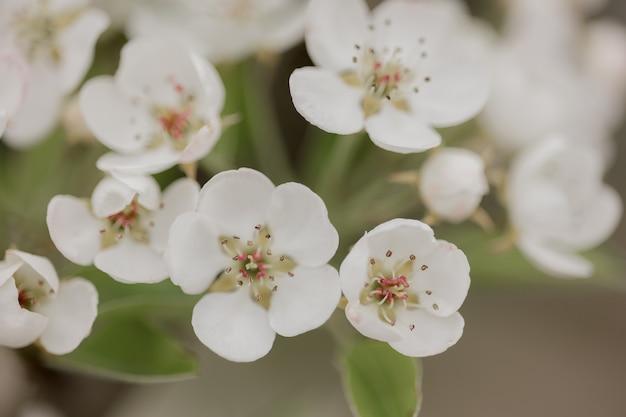 I fiori naturali sbocciano. fiori dell'albero che sbocciano nella stagione primaverile. primo piano di fiori in giardino. sfondo chiaro comprese le piante primaverili naturali.