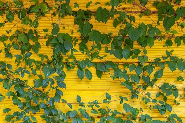 Sfondo verde naturale. il fico rampicante (ficus pumila) cresce spesso su pareti gialle indipendenti