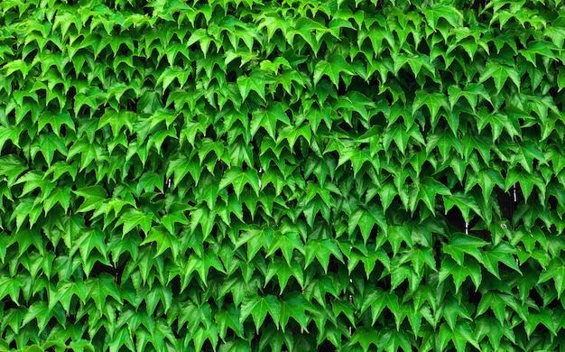 Sfondo verde naturale. pianta di edera - hedera helix