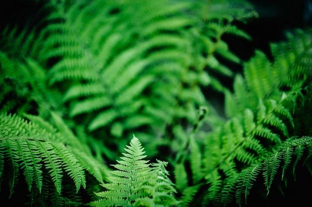 Foglie di felce verde naturale