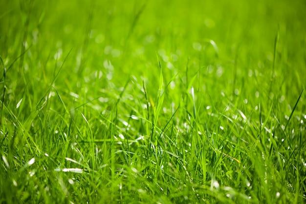 L'erba verde naturale con il fuoco selettivo