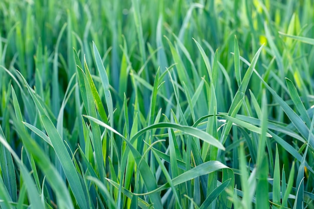Foglie verdi naturali nel giardino primaverile, foglie estive naturali della pianta, da utilizzare come sfondo estivo o sfondo ecologico.