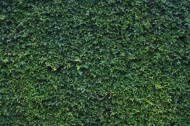 Muro di foglie verdi naturali per il disegno di sfondo