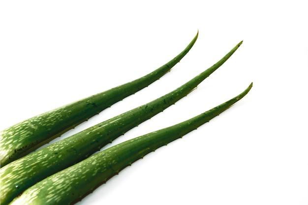 Foglie di agave naturale della pianta di erbe su fondo bianco