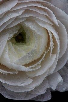 Modello naturale di petali di fiori con gocce d'acqua
