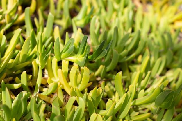 Sfondo di piante naturali da piante grasse. sfondo primavera estate, copia dello spazio.