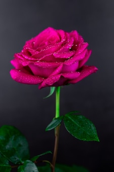 Sfondo di rose rosse naturali.