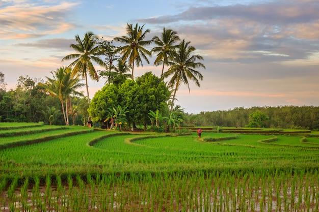 Scenario naturale dei campi di riso all'alba di mattina a bengkulu, indonesia