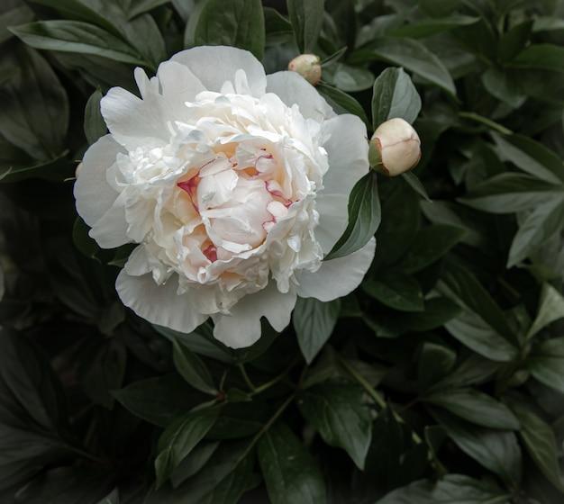 Peonia bianca naturale tra le foglie copia spazio.