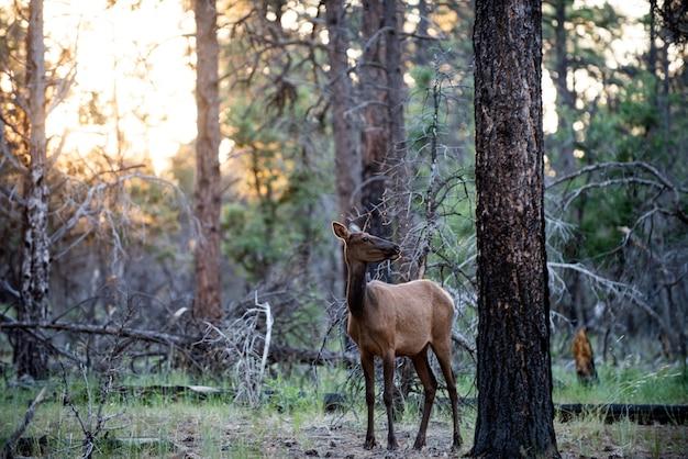 Concetto di animali della natura. capriolo dalla coda bianca bambi, fulvo capreolus giovane. bel dollaro della fauna selvatica.