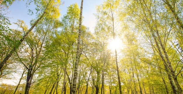 Sfondo della natura, foresta