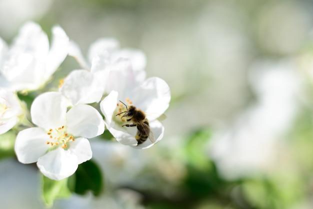 Sfondo della natura. ape e fiori di mela bianca.
