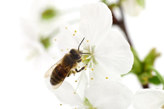Sfondo della natura. ape e fiori di ciliegio bianco.
