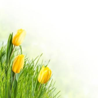 Fondo della natura con i fiori e l'erba del tulipano