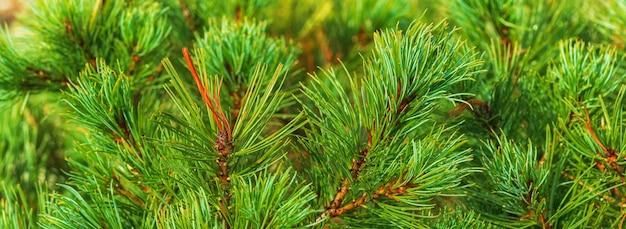 Aghi di arbusto pino cembro giapponese pinus pumila pianta medicinale naturale per la medicina tradizionale traditional