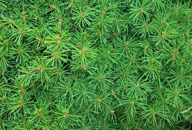 Struttura degli aghi conifera perenne sempreverde conifera naturale