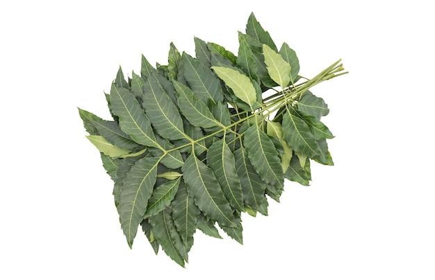 Neem o azadirachta indica, foglie verdi del ramo isolate.