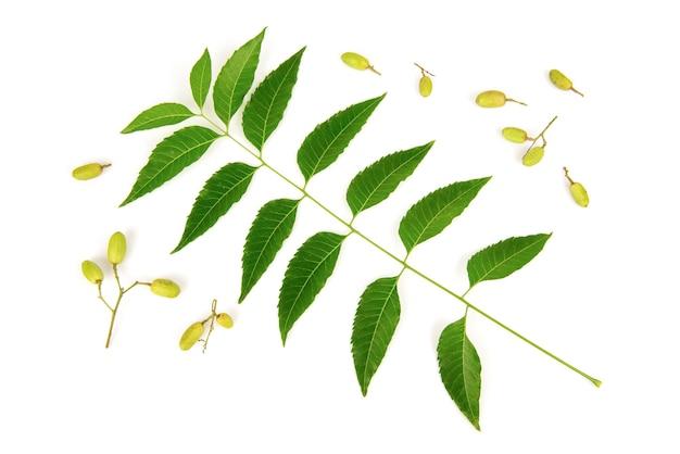 Neem o azadirachta indica foglie verdi e frutti isolati su sfondo bianco.